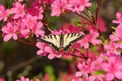 蝴蝶和桃红色杜娟花绽放 免版税库存照片