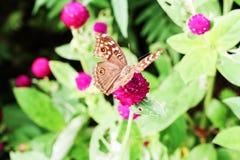 蝴蝶和桃红色花在庭院里 库存图片
