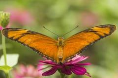 蝴蝶和桃红色花 免版税图库摄影