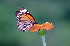 蝴蝶和橙色花 免版税库存图片