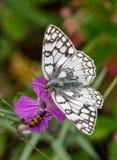 蝴蝶和甲虫在花 免版税图库摄影