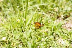 蝴蝶和禾本科 免版税库存图片