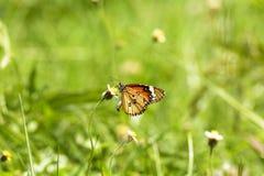 蝴蝶和禾本科 免版税图库摄影