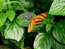 蝴蝶和花蜜 库存照片
