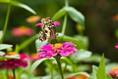蝴蝶和花(百日菊属) 免版税库存照片