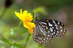 蝴蝶和黄色波斯菊 免版税库存图片