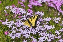 蝴蝶和紫色Pholx 免版税库存图片