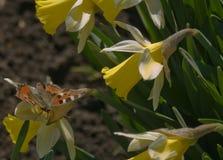 蝴蝶和黄水仙 免版税库存照片