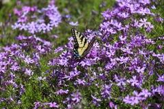蝴蝶和Pholx 免版税库存照片