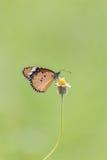 蝴蝶哺养 库存图片