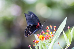 蝴蝶哺养 免版税库存照片