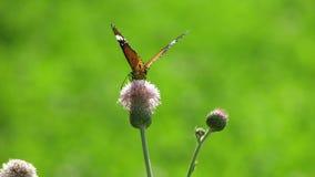 蝴蝶图片 免版税库存照片