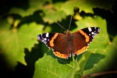 蝴蝶在叶子的Vanessa atalanta 库存图片