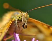 蝴蝶在宏指令的argynnis adippe 库存图片