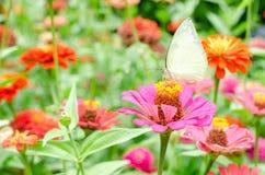 蝴蝶在室外庭院里授粉百日菊属花 免版税库存图片