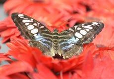 蝴蝶在新加坡 免版税库存图片