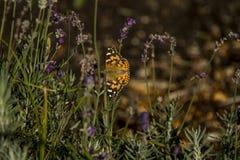 蝴蝶在淡紫色床上 免版税库存照片