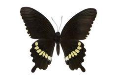 蝴蝶在白色查出的公用摩门教宏指令 免版税图库摄影