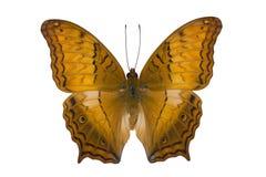 蝴蝶在白色查出的巡洋舰宏指令 免版税库存图片