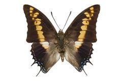 蝴蝶在白色隔绝的巨型皇帝 免版税库存图片
