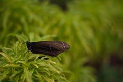 黑蝴蝶在美丽的印度尼西亚缩样公园蝴蝶庭院里  免版税库存图片