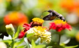 蝴蝶在飞行中会集从花的花蜜 免版税库存照片