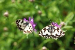 蝴蝶在紫色野花的使有大理石花纹的白色 免版税库存照片