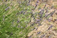 蝴蝶在Lavander 库存图片