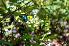 蝴蝶在Tangkoko国家公园 库存照片