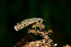 蝴蝶坐一朵干燥花 免版税库存图片