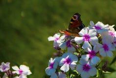 蝴蝶坐在一个领域的花在城市之外 免版税库存图片