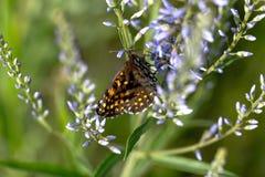 蝴蝶坐在领域的一朵花 库存图片