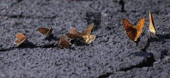 蝴蝶坐地面 库存图片