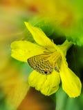 蝴蝶坐掩藏在花粉堆的一朵黄色花 图库摄影