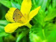 蝴蝶坐掩藏在花粉堆的一朵黄色花 免版税库存图片