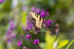 蝴蝶坐花 图库摄影