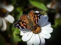 蝴蝶夫人绘了 免版税库存图片