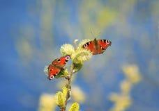 蝴蝶孔雀在春天收集花蜜有蓬松意志的 免版税库存图片