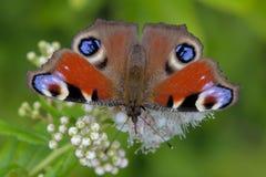 蝴蝶孔雀眼睛。 免版税库存图片