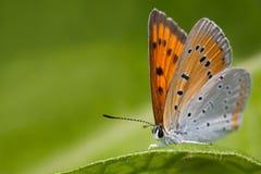 蝴蝶宏指令视图 蓝色桔子蛛丝飞过了绿叶叶子背景的,浅宏观的看法Polyommatus艾卡罗计 免版税库存图片