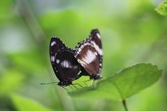 蝴蝶对 免版税库存图片