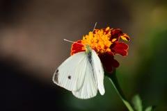 蝴蝶小的白色 图库摄影