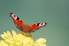 蝴蝶庭院s南泰国 免版税库存图片