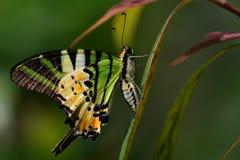 蝴蝶庭院s南泰国 免版税库存照片