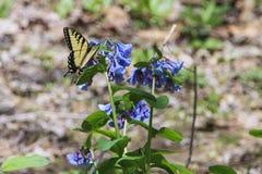 蝴蝶提供的swallowtail老虎 库存照片