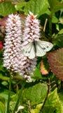 蝴蝶提取pollan 免版税库存图片