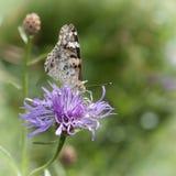 蝴蝶收集在一朵紫色花的花蜜 免版税库存图片