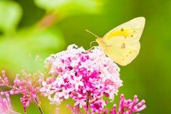 蝴蝶无云的硫磺 库存照片