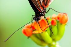 蝴蝶昆虫哺养 库存图片