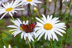 蝴蝶春黄菊关闭 图库摄影